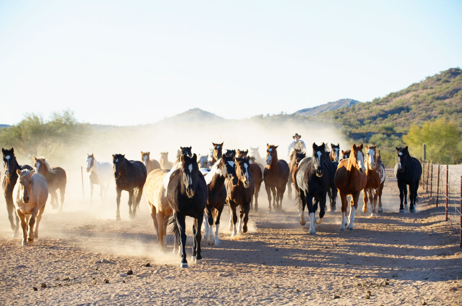 Horses running at Rancho de los Caballeros in Wickenburg, AZ